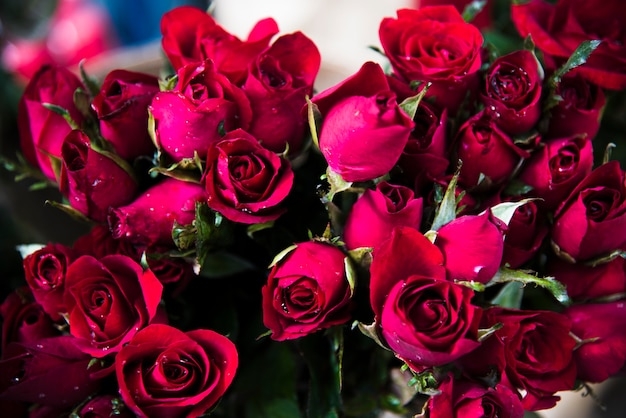 Rote rosenblüte blüht