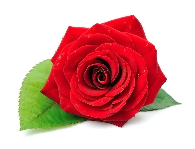 Rote rosenblüten lokalisiert auf weiß