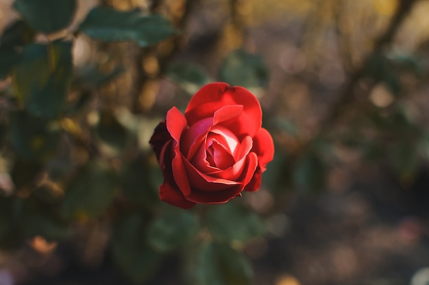 Rote rosenblume auf einem busch gegen von verschwommenen grünen blättern im garten.