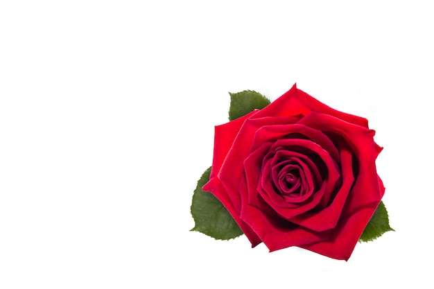 Rote rosenblume lokalisiert auf weißem hintergrund
