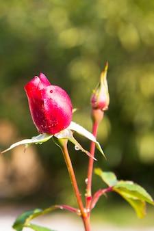 Rote rosenknospe im garten nach dem regen. junge knospe einer roten rose auf einem stiel. pflege von gartenrosensträuchern. blühende gartenrosen und -knospen. platz für text