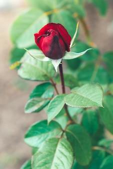 Rote rosenknospen, die im garten wachsen.