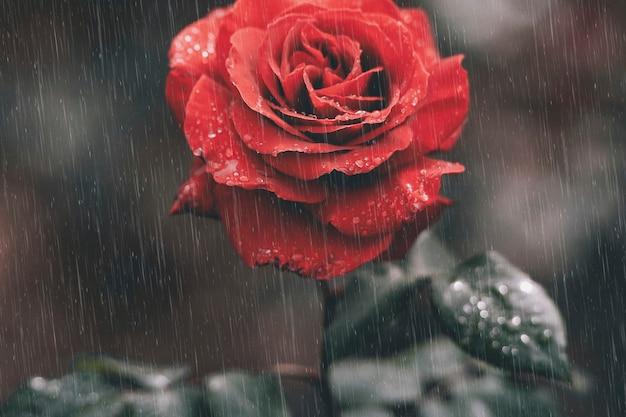 Rote rosentapete im stimmungsvollen hintergrund des regens