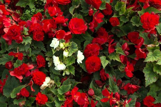 Rote schöne begonie blüht feldbeschaffenheit. schließen sie oben blumenhintergrund.