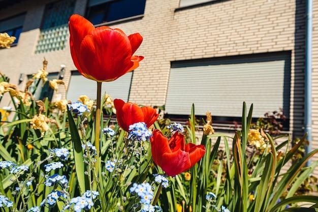 Rote schöne tulpen, die tagsüber im garten wachsen