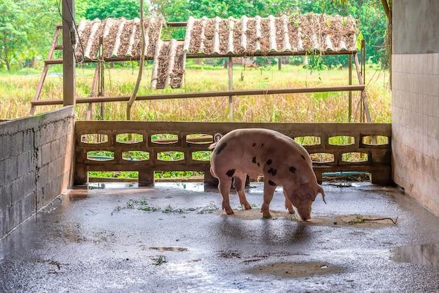 Rote schweine des züchters auf einem bauernhof