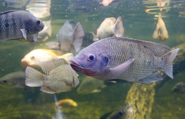 Rote tilapiafischschwimmen in einem teich