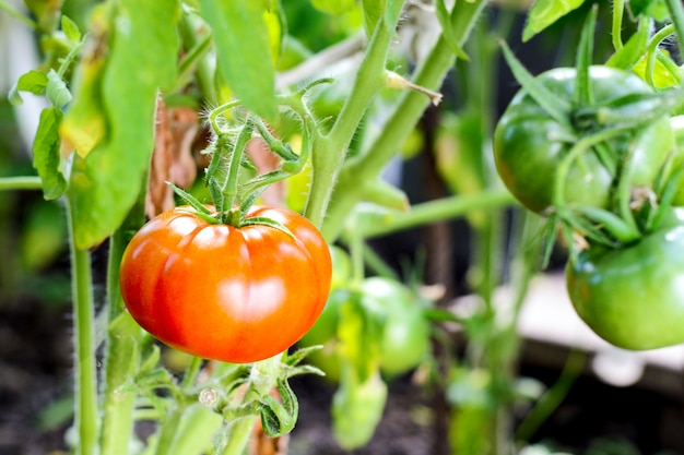 Rote tomaten auf einer niederlassung im gewächshaus