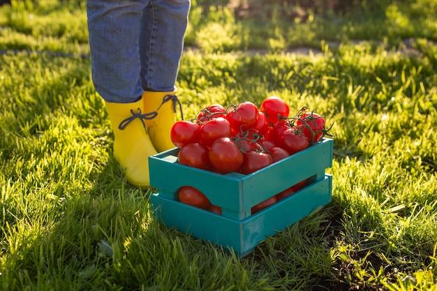 Rote tomaten liegen in der blauen holzkiste auf grünem gras, das vom sonnenlicht hinterleuchtet wird. konzept der ernte ihres eigenen gemüsegartens für die ernte für den winter
