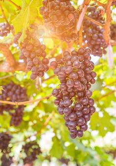 Rote trauben im weinberg bereit zur ernte