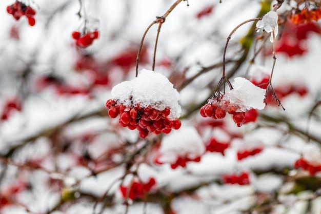 Rote trauben von viburnum im schnee