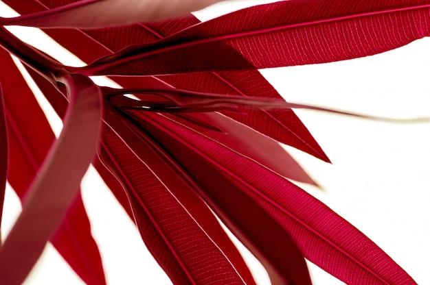Rote tropische pflanzenblätter schließen oben lokalisiert auf weißem hintergrund. hoher kontrast kreativer natur.