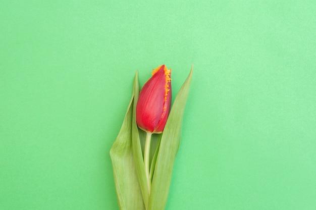 Rote tulpe auf einem grün