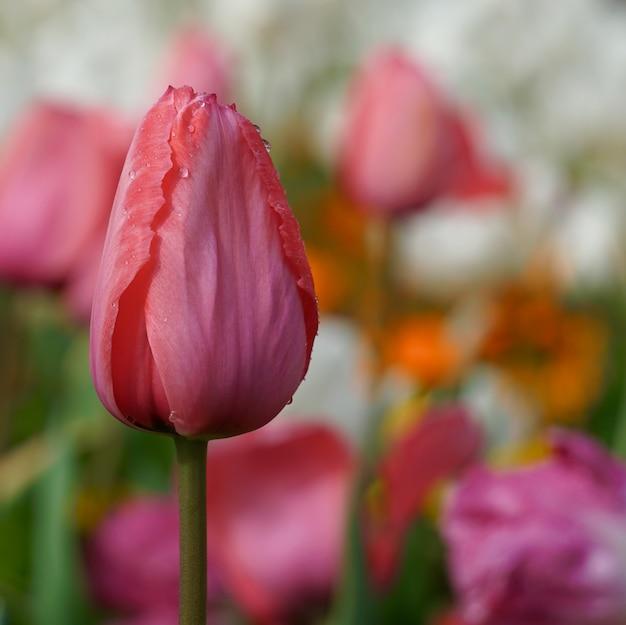 Rote tulpe im garten im frühling
