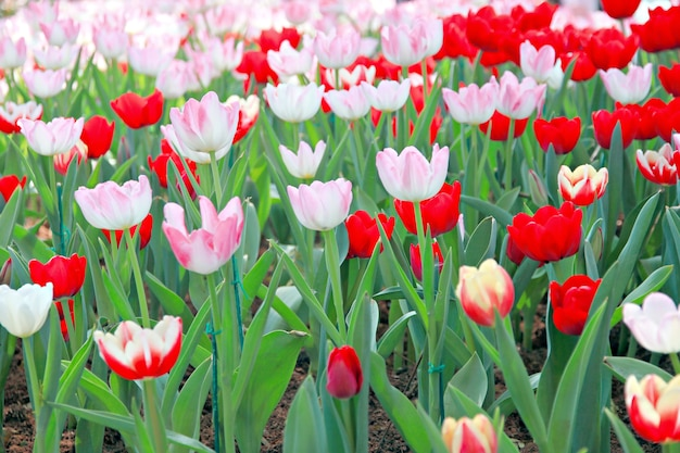 Rote tulpe im garten.
