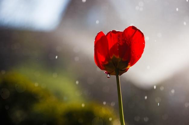 Rote tulpe in wassertropfen aus einer bewässerungsanlage in einem hausgarten.