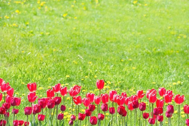 Rote tulpen auf dem feld mit grünem gras als hintergrund