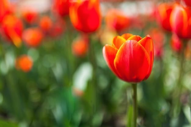 Rote tulpen auf einer wiese
