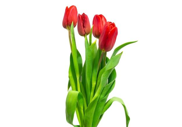 Rote tulpen auf weißem hintergrund. festlicher frühlingsstrauß für glückwünsche zum valentinstag, happy women's day ..