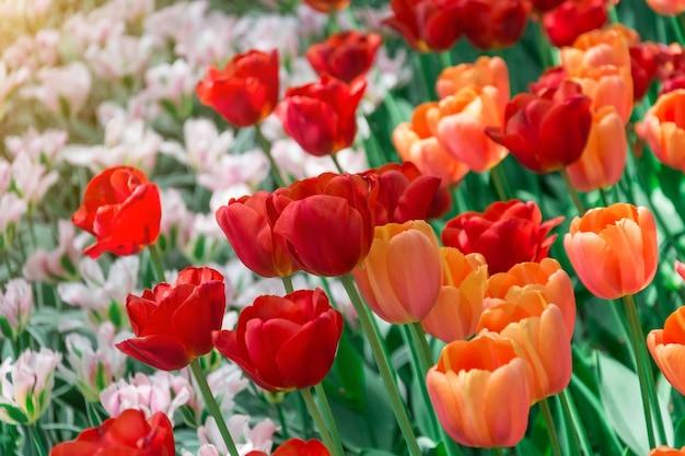 Rote tulpen, die in einem park in einem blumenbeet blühen.