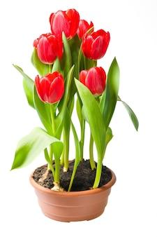 Rote tulpen im braunen topf isoliert auf weißem hintergrund
