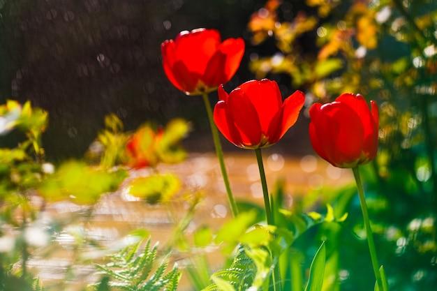 Rote tulpen im hausgarten.