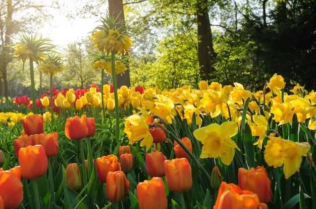 Rote tulpen von den niederlanden in den strahlen des sonnenuntergangs