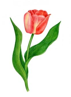 Rote tulpenaquarellillustration lokalisiert