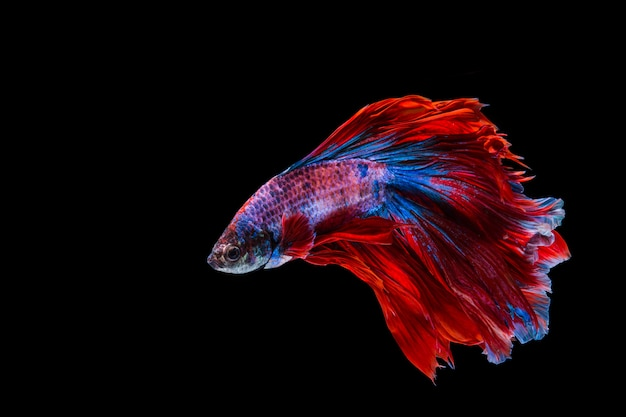 Rote und blaue betta fische, siamesischer kämpfender fisch auf schwarzem hintergrund