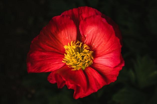 Rote und gelbe blume in voller blüte