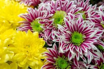 Rote und gelbe Chrysanthemen.