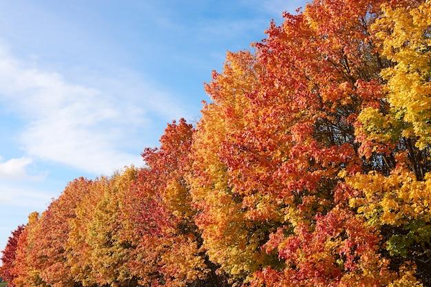 Rote und gelbe kronen von herbstbäumen gegen den blauen himmel