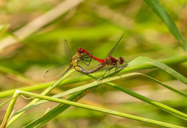 Rote und gelbe libelle, die auf gras, wildes insektentiermakro paart
