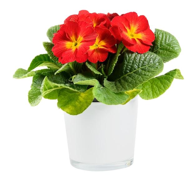 Rote und gelbe topfkerze oder primelpflanze