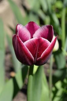 Rote und gelbe tulpe gavota