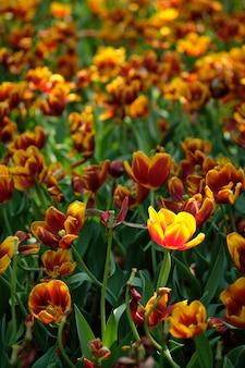 Rote und gelbe tulpen unter der hellen frühlingssonne mit grünen blättern als hintergrund