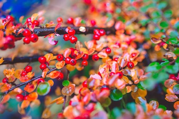 Rote und grüne blätter der berberitze berberis thunbergii atropurpurea nach regen. schöner bunter herbsthintergrund.