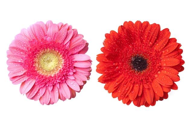Rote und rosa gänseblümchen-gerbera-köpfe mit wassertropfen lokalisiert auf weiß