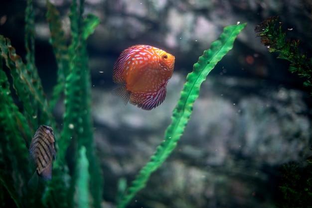 Rote und weiße diskus-pompadour-fische schwimmen im aquarium. symphysodon aequifasciatus ist ein amerikanischer buntbarsch, der im amazonas, südamerika, beheimatet ist und als süßwasseraquariumfisch beliebt ist