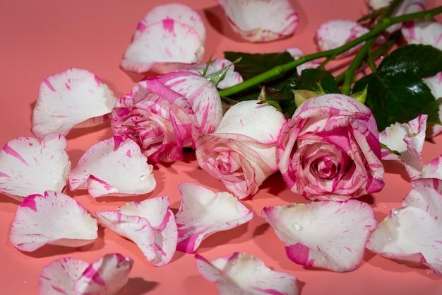 Rote und weiße rose auf einem rosa hintergrund in blütenblättern und wassertropfen nahaufnahme