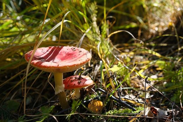 Rote ungenießbare giftpilzpilze, die im wald an einem sonnigen herbsttag wachsen.