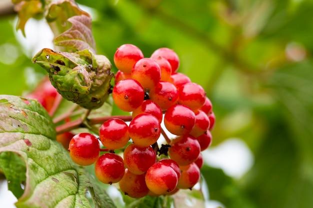 Rote viburnumbeeren mit tau an den zweigen frische beeren werden in der medizin als abführmittel...