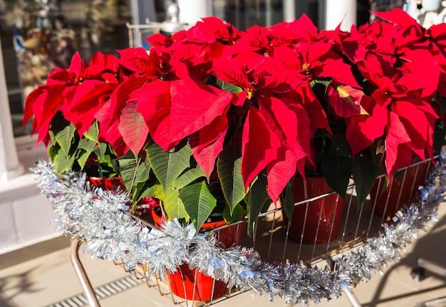 Rote weihnachtssternblume in der traditionellen weihnachtsdekoration des topfes