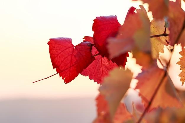 Rote weinblätter im spätherbst