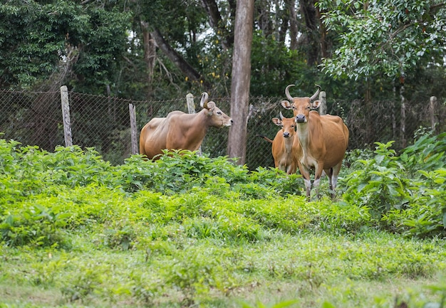 Rote wilde kühe