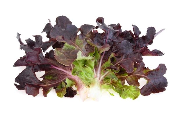 Roteichenblattsalat isoliert auf weißem hintergrund