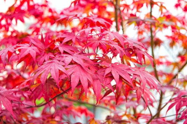 Roter ahornbaum der herbst kommt lebendige ahornblätter hautnah herbstlicher hintergrund