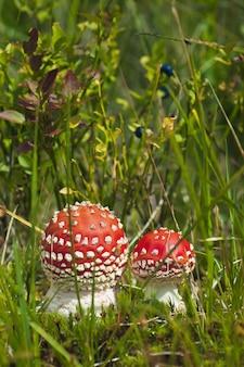 Roter amanita-pilz im wald in den bergen