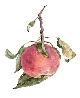 Roter apfel. am zweig mit blättern. von hand gezeichnete fruchtillustration des aquarells lokalisiert auf weißem hintergrund