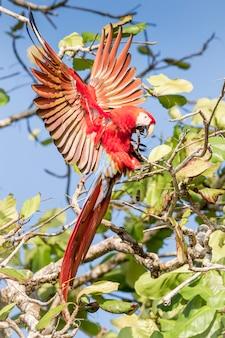 Roter ara landet auf einem ast